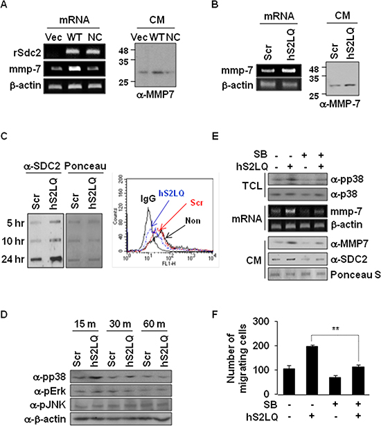 Shed syndecan-2 enhances MMP-7 expression via p38 MAP kinase activation in colon cancer cells.