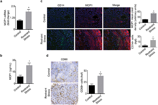 Daily restraint stress leads to increased MCP1 expression and infiltration of CD14+ and CD68+ cells.