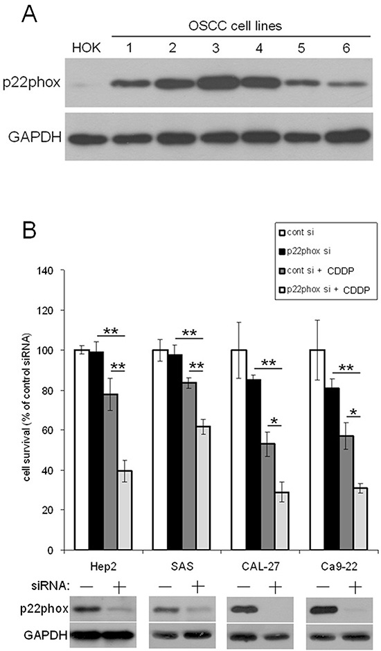 Down-regulation of p22phox increased sensitivity to CDDP-induced cytotoxicity.