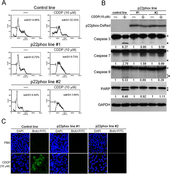 Abolishment of CDDP-induced apoptosis in p22phox stable lines.