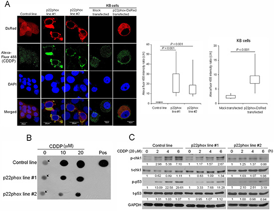 Reduced CDDP uptake into the nucleus, CDDP-DNA adduct formation and chk1-p53 activation in p22phox stable lines.