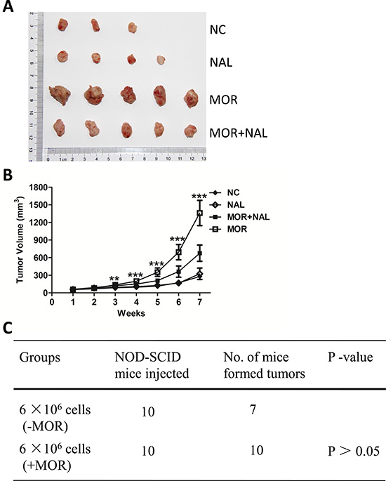 Nalmefene reverses morphine-increased tumorigenesis.