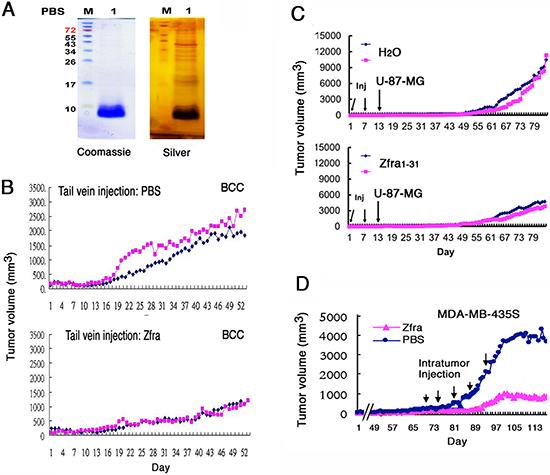 Zfra peptide self-polymerizes in vitro and blocks cancer growth in vivo.