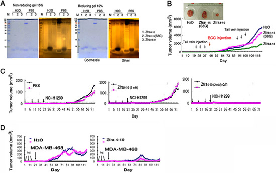 Zfra4–10 polymerization and correlation with its anticancer activity.