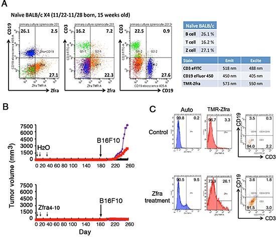 Down-regulation of spleen Zfra-binding Z cells in tumor-growing mice.