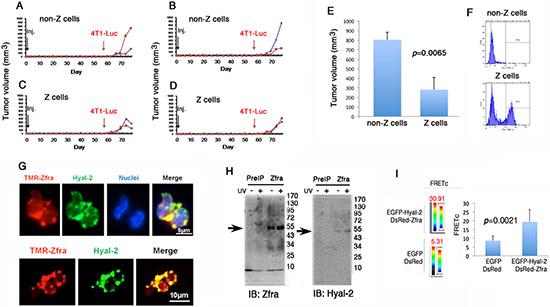In vitro stimulation of Hyal-2+ CD3- CD19- Z cells for killing breast cancer in vivo.