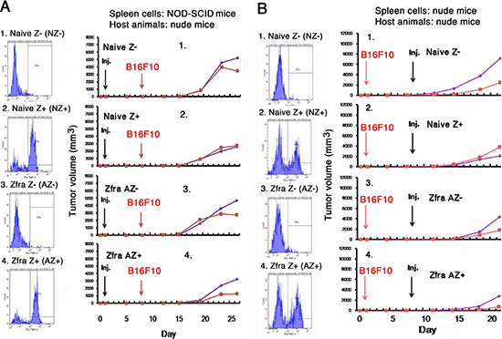 Activated Z cells inhibit melanoma growth in vivo.