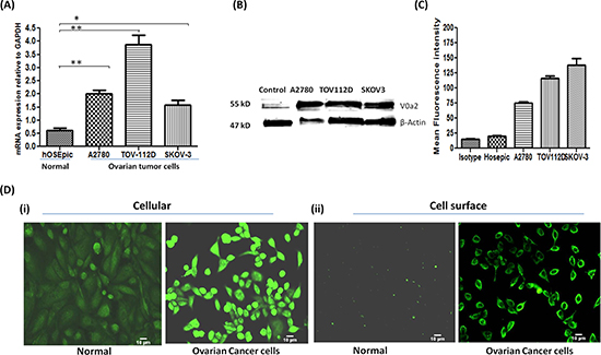 Ovarian carcinoma cell lines exhibit high expression of V-ATPase-V0a2 on cell surface.