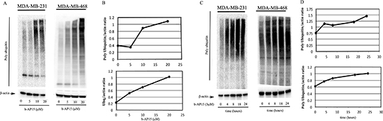 Dose- and time-dependent inhibition of ubiquitin-dependent protein degradation in TNBC cells exposed to b-AP15.