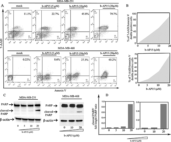 b-AP15 causes onset of apoptosis in breast cancer cells.