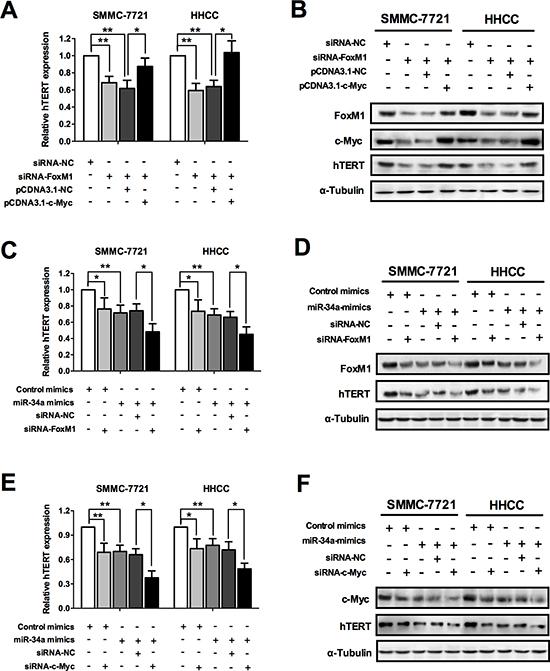 miR-34a inhibits telomerase activity via FoxM1/c-Myc signal pathway.
