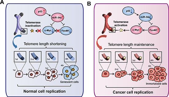 Overview of telomere related pathways for miR-34a-induced senescence.