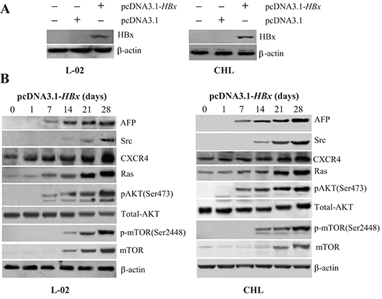 Effects of pcDNA3.1-HBx on the expression of AFP, Src, CXCR4, Ras, pAKT(Ser473), and p-mTOR(Ser2448) in liver cells.