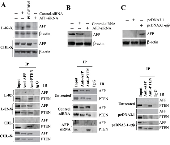 The interaction and co-localization of AFP with PTEN in liver cells.