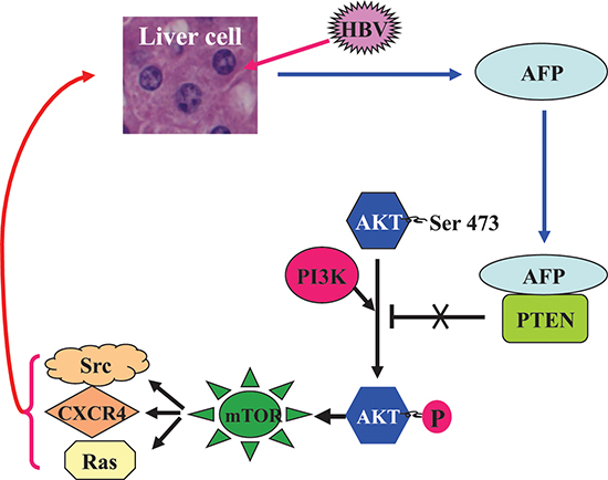 A schematic role of AFP in the HBV-driven malignant transformation of liver cells.