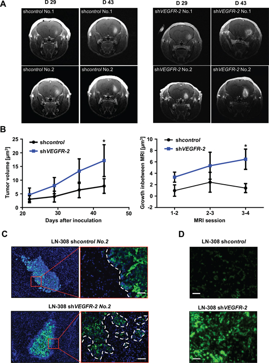 Genetic ablation of VEGFR-2 in glioma cells produces a more invasive growth phenotype in a xenograft mouse model.