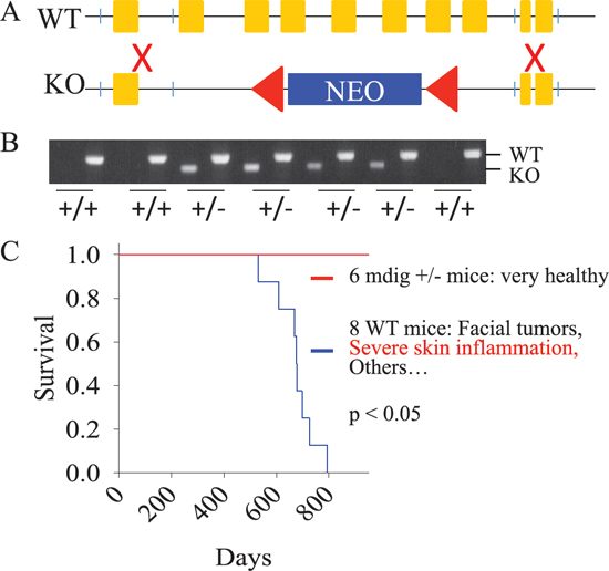 Establishment of the mdig knock-out mice.