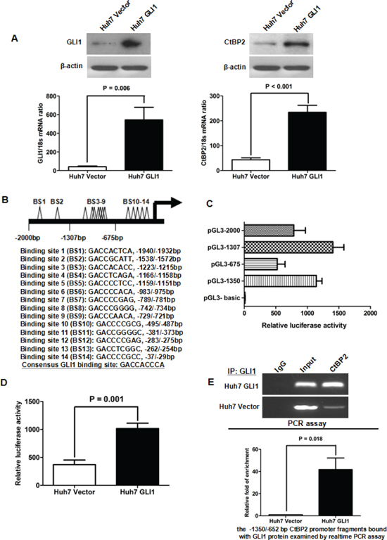 GLI1 increased CtBP2 expression directly by binding to its promoter.