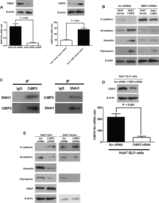 CtBP2 interacted with SNAI1 and played a critical role in GLI1/SNAI1 induction of EMT.