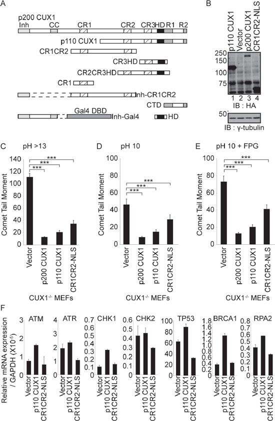 Rescue of DNA repair defect by recombinant CUX1 proteins.