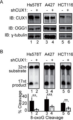 CUX1 knockdown reduces the 8-oxoG cleavage activity of human cell lines.