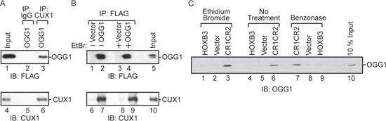 Interaction between OGG1 and CUX1.