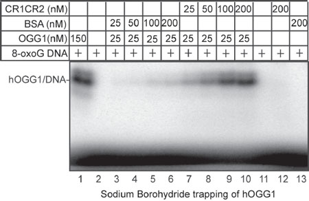 Sodium borohydride trapping of OGG1 enzyme in the presence of CR1CR2.