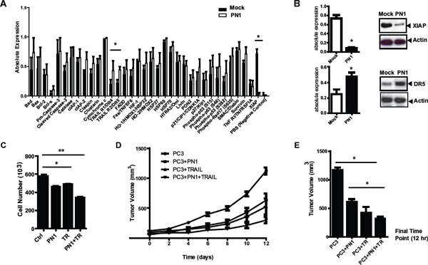 PN1 expression induces apoptosis and decreases XIAP protein levels.