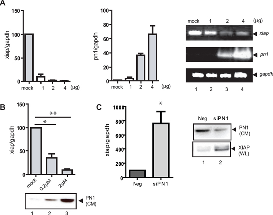 XIAP mRNA expression is reduced by PN1 exposure.