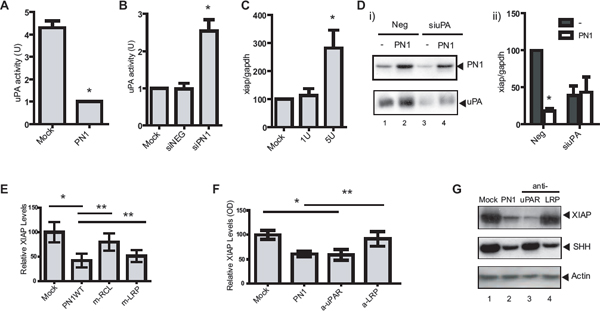 PN1-mediated XIAP regulation requires uPA and uPAR signalling.