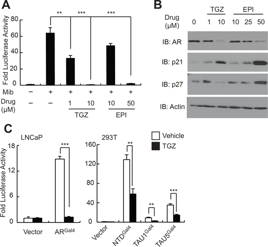 EPI-001 and the PPAR-γ agonist troglitazone have similar effects on AR expression and transcriptional activity.