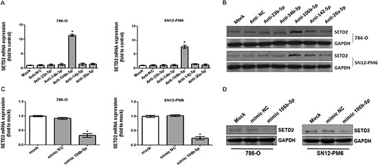 miR-106b-5p downregulated the expression of SETD2 in ccRCC cells.
