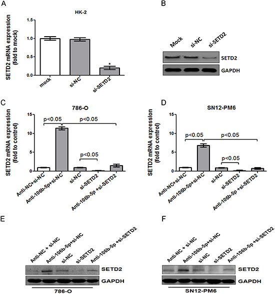 MiR-106b-5p antagomir induced up-regulation of SETD2 expression was reversed by knockdown of SETD2 in ccRCC cells.
