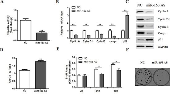 MicroRNA-153 antisense inhibits β-catenin signaling.