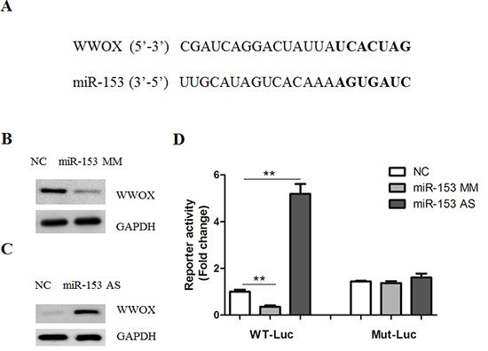 MicroRNA-153 regulates WWOX expression.