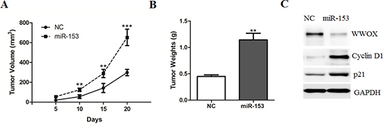 MicroRNA-153 promotes HCC growth in the nude mice.