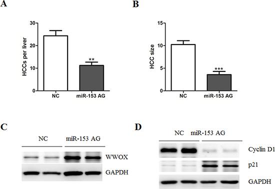 Systematic administration of MicroRNA-153 suppresses HCC development in C57BL/6 mice.