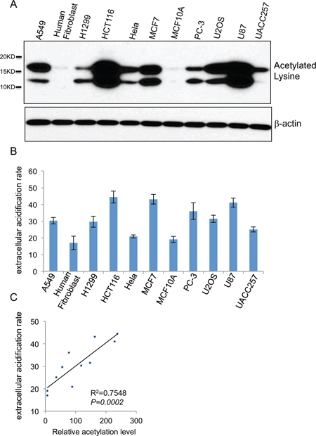 Cellular glycolysis rate positively correlates with the extent of global histone acetylation.