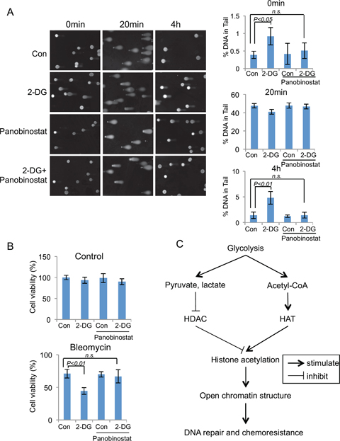 Glycolysis induced chromatin structure change affects DNA repair efficiency and chemo-sensitivity.