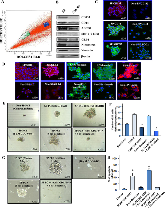 Characterization of phenotypic and functional features of SP and non-SP cell fractions from metastatic and AI PC3 cells and cytotoxic effects induced by GDC-0449 and docetaxel on SP PC3 cells.