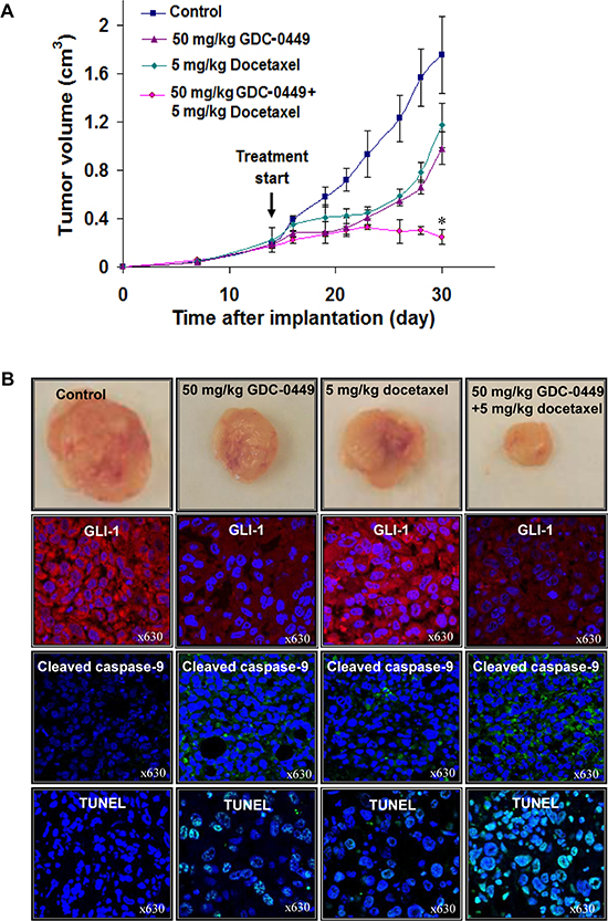 In vivo determination of the growth inhibitory effects induced by GDC-0449 and docetaxel on PC3 cell xenografts.