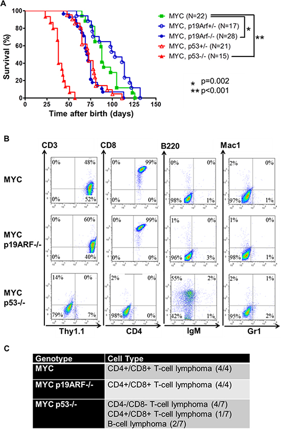 Loss of p19ARF or p53 cooperates with MYC.