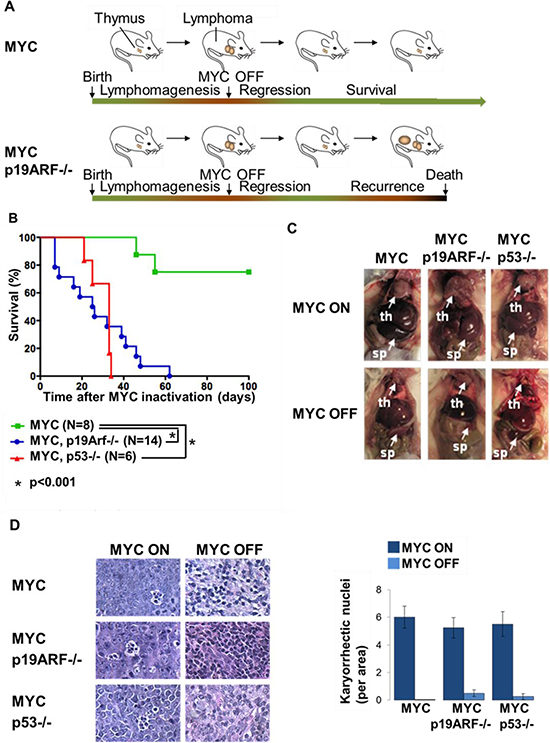 Loss of p19ARF or p53 facilitates lymphoma recurrence.