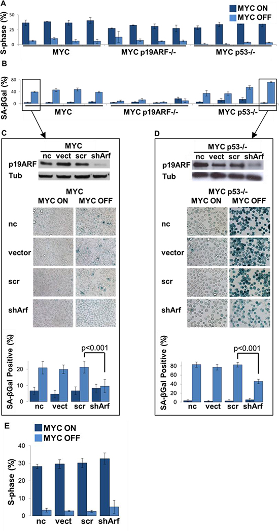 Loss of p19ARF prevents MYC inactivation induced senescence in a p53-independent manner.