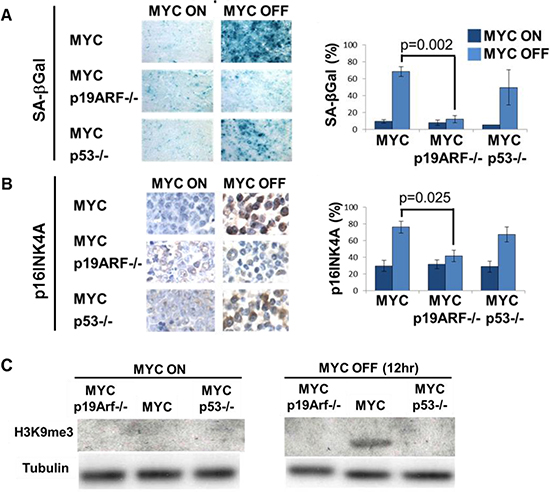 Loss of p19ARF prevents MYC inactivation induced senescence in vivo.