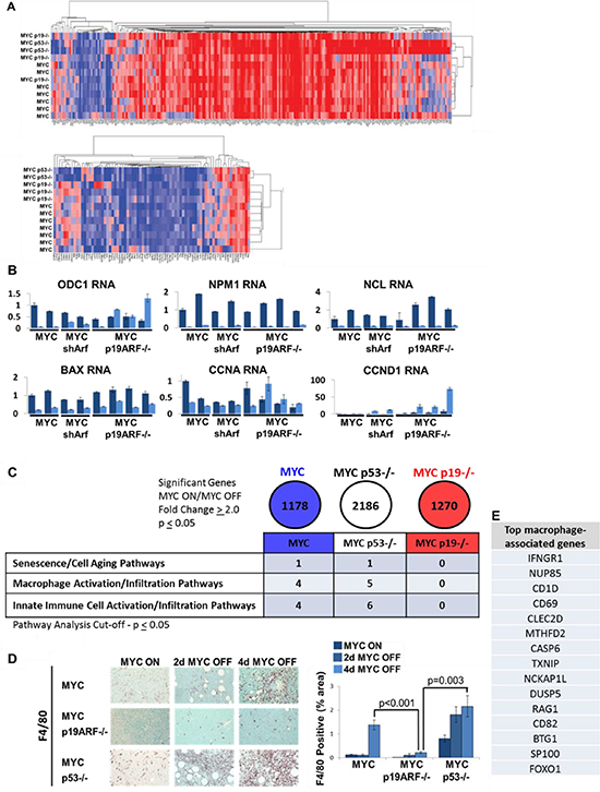 Microarray suggests deregulation of senescence and innate immune cell infiltration into MYC p19ARF−/− tumors.