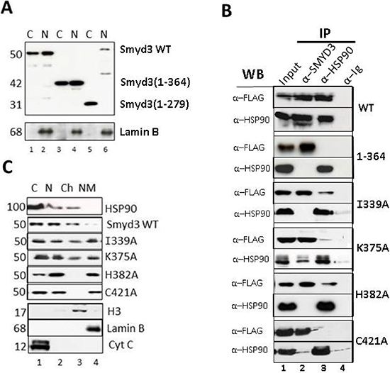 TPR residues of SMYD3 CTD are essential in vivo for nuclear localization, HSP90 interaction and sub-nuclear sequestration into chromatin.