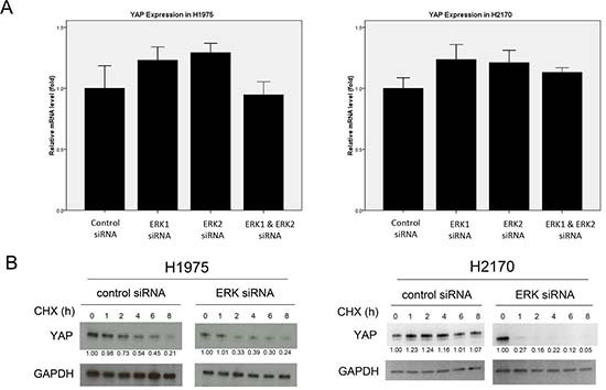 Analysis of YAP expression after ERK1/2 inhibition in NSCLC cells.