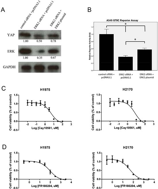 Expression of YAP/Hippo pathway and cell viability analysis after ERK inhibition in NSCLC cells.