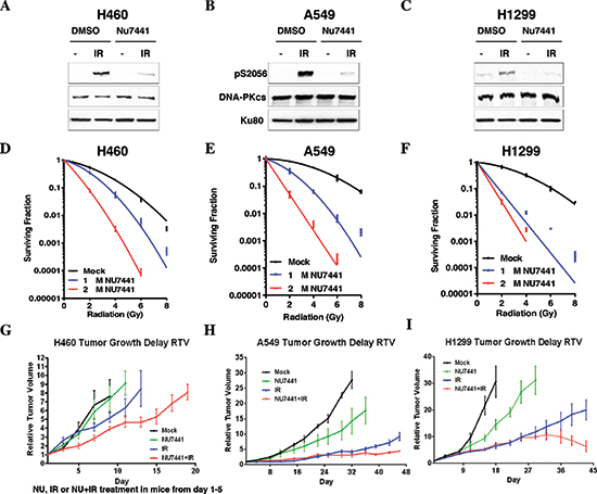 NU7441 sensitizes NSCLC cells to irradiation.